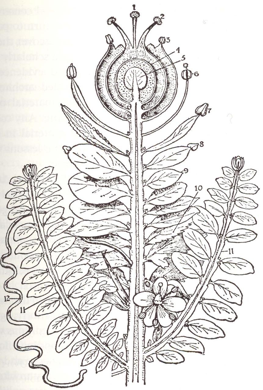 Goethe's Urpflanze